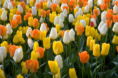 A bed of colorful tulips