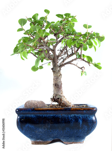 Papiers peints Azalea Bonsai Tree, Chinese Elm