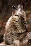 Fototapeta wzywając - głos - Dziki Ssak