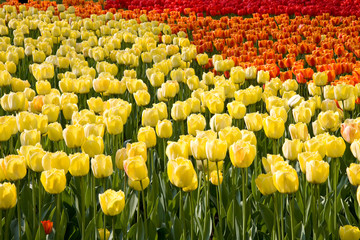 A colorful field of tulips