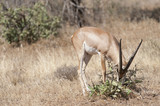 Slender-horned Gazelle poster