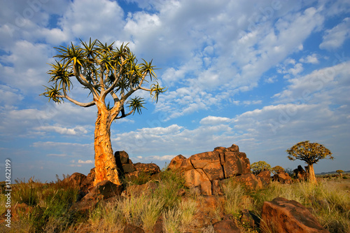 canvas print picture Landscape with quiver tree (Aloe dichotoma), Namibia