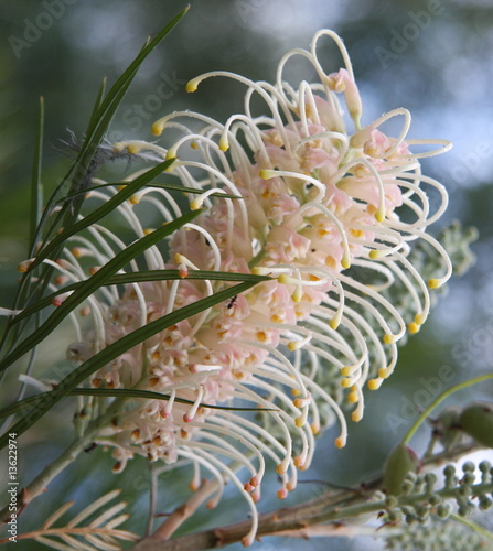 White Grevillea Flower