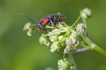 Cantharis rustica red bug in white flowers