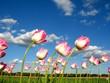 Tulpen im Wind