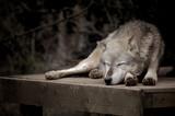 Fototapeta bestia - zwierzę - Dziki Ssak