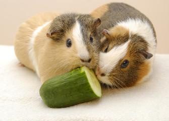 Meerschweinchen essen Gurke