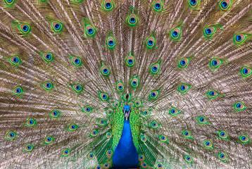 Peafowl plumage (lat. Pavo cristatus)