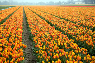 Colorful field of tulips, the Netherlands