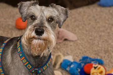Gray miniature schnauzer dog with toys