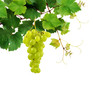 Grapevine with ripe grape