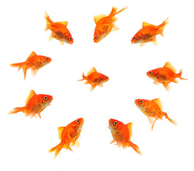 larger goldfish group around smaller goldfish