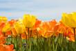 gelbe orange Tulpen