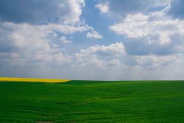 Wheat and canola field with blue sky