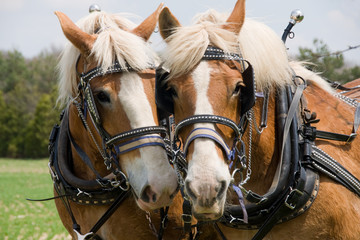 A matched pair of draft horses