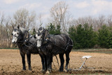 Dapple Grey Plow horses