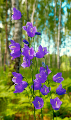 bluebell in forest