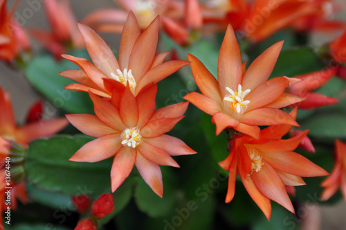 Foto op Canvas Cactus kaktusblüten