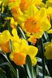Group of orange and yellow daffodils in spring