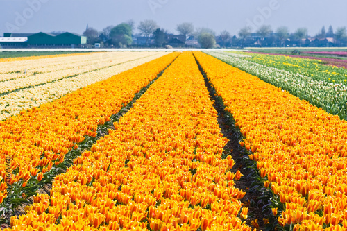 Colorful tulipfields in spring