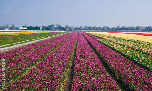Field with purple tulips