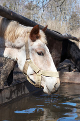 Horse drinking water from pond