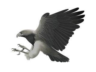 Black chested Eagle buzzard attack