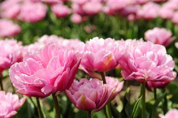 Double pink tulips
