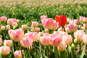 Pink tulips with one standing out