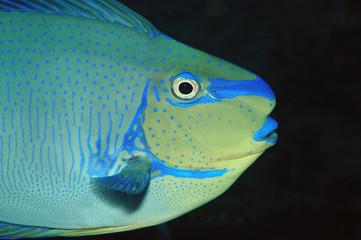 Masken-Nasendoktorfisch - Bali, Tulamben
