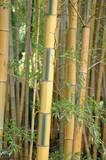 bambou bicolore