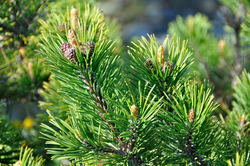 Green fir background