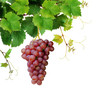 Isolated grapevine with pink grape cluster