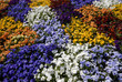 Pansies background