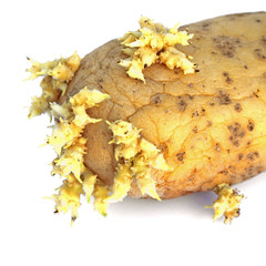 pomme de terre en phase de germination