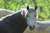 young stallion camargue poster