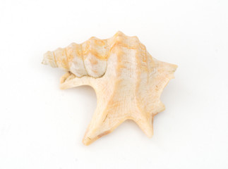 A seashell on white background.