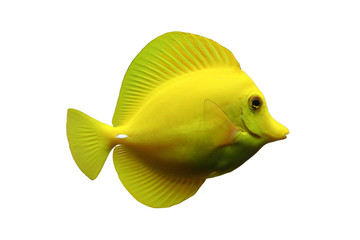 Doktorfisch freigestellt