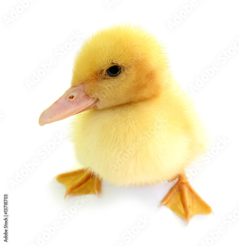 Photo: Duckling young baby duck