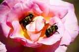 Pink Rose Hosting some Bees