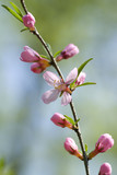 Blossoming branch of an Oriental cherry
