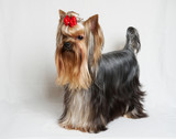 The Yorkshire terrier on the white background