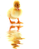 Little yellow fluffy duckling isolated