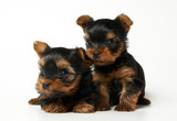 Two Yorkshire terrier puppies on the white background