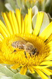 Bee on Sunflower 5