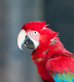 close up image of red parrot