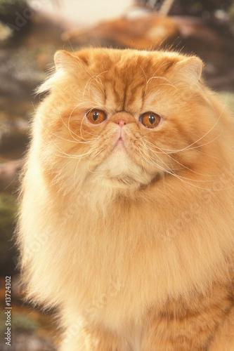t te de chat persan roux aux yeux orange photo libre de droits sur la banque d 39 images fotolia. Black Bedroom Furniture Sets. Home Design Ideas