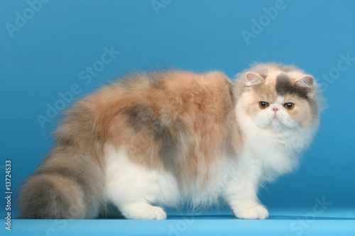 chat persan de plusieurs couleurs de profil sur fond bleu de callalloo candcy photo libre de. Black Bedroom Furniture Sets. Home Design Ideas