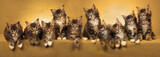 Composite panorama of 10 Maine Coon kittens on gold