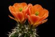 Cactus fleuri (55)